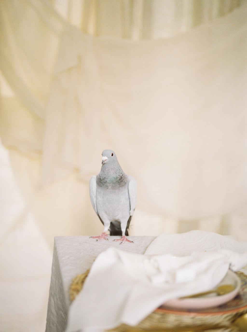 Pretty Wedding Pigeon